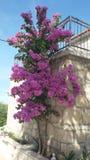 Bougainvillea kwiat Obrazy Royalty Free