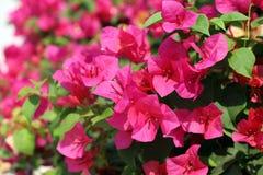Bougainvillea kwiat dla tło menchii purpurowej czerwonej selekcyjnej ostrości Obraz Stock