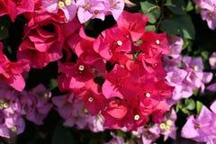 Bougainvillea kwiat dla tło menchii purpurowej czerwonej selekcyjnej ostrości Zdjęcie Royalty Free