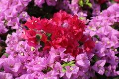 Bougainvillea kwiat dla tło menchii purpurowej czerwonej selekcyjnej ostrości Fotografia Stock