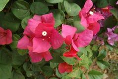 Bougainvillea kwiat od Tajlandia Obraz Stock