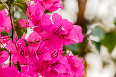 Bougainvillea kwiatu bougainvillea, kwiat, menchia Fotografia Royalty Free