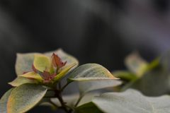 Bougainvillea kwiatu brud Zdjęcia Royalty Free