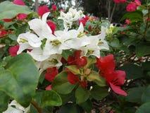Bougainvillea kwiatu czerwień i biel Zdjęcie Royalty Free