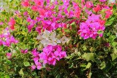 Bougainvillea kwiatu menchia z zielenią opuszcza piękny w ogródzie Obrazy Royalty Free