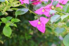 Bougainvillea kwiatu menchia z zielenią opuszcza piękny w ogródzie Zdjęcia Royalty Free