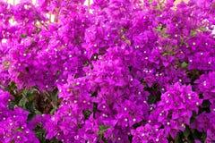 Bougainvillea kwiatu tło Obrazy Royalty Free