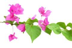 bougainvillea kwiaty Obrazy Stock