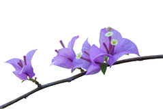 Bougainvillea kwiaty Obrazy Royalty Free