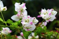 Bougainvillea kwiaty i drzewo zdjęcie stock