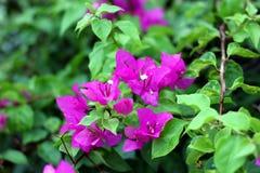 Bougainvillea kwiaty i drzewo zdjęcia stock