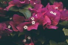 Bougainvillea kwiaty Kolorowa purpura kwitnie teksturę i tło bougainvillea zdjęcia stock
