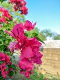 Bougainvillea kwitnie, pięknego menchia kwiatu papierowi kwiaty fotografia stock