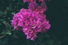Bougainvillea kwitnie teksturę i tło Purpurowi kwiaty bougainvillea drzewo Zdjęcia Royalty Free