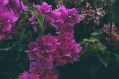 Bougainvillea kwitnie teksturę i tło Purpurowi kwiaty bougainvillea drzewo Fotografia Royalty Free