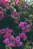 Bougainvillea kwitnie teksturę i tło Purpurowi kwiaty bougainvillea drzewo Zdjęcie Stock