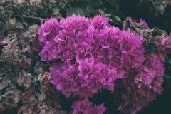 Bougainvillea kwitnie teksturę i tło Purpurowi kwiaty bougainvillea drzewo Obrazy Royalty Free