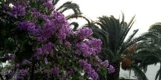 Bougainvillea Kwitnie z Adriatyckim morzem w tle - Podgora, Makarska Riviera, Dalmatia, Chorwacja Zdjęcia Royalty Free