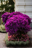 Bougainvillea large plant shaped as a tree. In a pot, planted in a finnish garden Stock Image