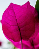 Bougainvillea leaf Royalty Free Stock Photo