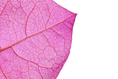 Bougainvillea Leaf Extreme Macro Stock Images