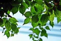 Bougainvillea leaves Royalty Free Stock Images
