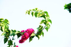 Bougainvillea and leaves. Red colour of Bougainvillea and leavesn Stock Image