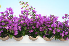 Bougainvillea. In lilac color is climbing uphill surrounding wall Royalty Free Stock Photos
