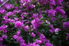 Bougainvillea lub papierowy kwiat Fotografia Stock