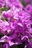 Bougainvillea lub papierowy kwiat jesteśmy tropikalnym rośliną jakby Obrazy Royalty Free