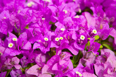 Bougainvillea lub papierowy kwiat jesteśmy tropikalnym rośliną jakby Obrazy Stock