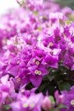 Bougainvillea lub papierowy kwiat jesteśmy tropikalnym rośliną jakby Obraz Royalty Free