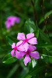 Bougainvillea lub papierowy kwiat jesteśmy tropikalnym rośliną jakby Fotografia Royalty Free