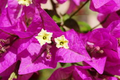 Bougainvillea macro Stock Images