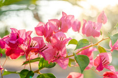Bougainvillea: the magenta color flower in the summer. Bougainvillea: the magenta color flower in the summer stock photography