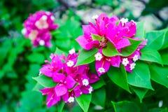 Bougainvillea magenta color and white pollen blooming. In garden stock photos