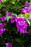 Bougainvillea. Many Bougainvillea in Ratchaburi Thailand royalty free stock images