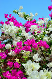 Bougainvillea marsa alam Stock Photography