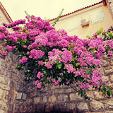 Bougainvillea and mediterranean stone wall. Beautiful Mediterranean village view with bougainvillea and stone wall, instagram effect, square toned image Royalty Free Stock Photo