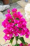 Bougainvillea menchii gałąź kwitnie, papierowego kwiatu gałąź Zdjęcie Stock
