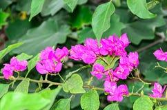 Bougainvillea menchii gałąź kwitnie, papierowego kwiatu gałąź z gree Zdjęcia Stock