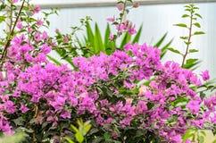 Bougainvillea menchii gałąź kwitnie, papierowego kwiatu gałąź z gree Zdjęcia Royalty Free
