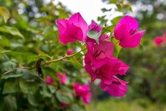 Bougainvillea menchii kwiat Zdjęcie Royalty Free