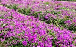 Bougainvillea menchii kwiatu kwitnienie Fotografia Royalty Free
