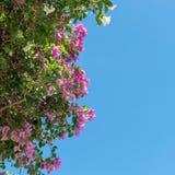 Bougainvillea na niebieskiego nieba tle Zdjęcia Royalty Free