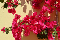 Bougainvillea or Nyctaginaceae in Crete. Royalty Free Stock Image