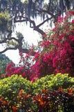Bougainvillea och spansk mossa, Tampa, FL arkivbilder