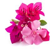 Bougainvillea and olender. Flowers isolated on white background stock images