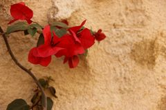 Bougainvillea. Orange Bougainvillea growing against a stone wall in the old city of Rhodes, Greece royalty free stock photography