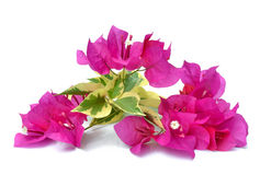 Bougainvillea over Royalty Free Stock Photos